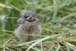 baby bird Oenanthe