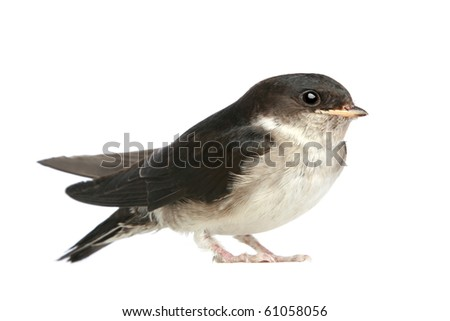 Baby bird of a swallow on a white background