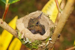baby bird of Rufous-tailed hummingbird in the nest, 18 days old, Costa Rica, Central America