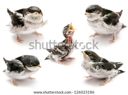 Baby bird of Sand Martin swallow (Riparia riparia) isolated on white