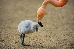 Baby bird of the American flamingo (Phoenicopterus ruber) with its mother.
