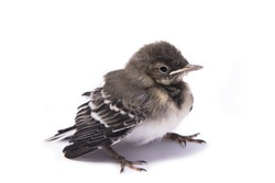 Baby bird sparrow isolated on white.