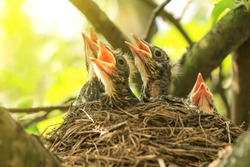 Baby birds in a nest on a tree branch close up in spring in sunlight