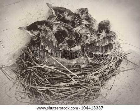 Baby birds in nest - picture in sepia