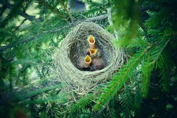 Baby birds in the nest birds and mistle thrushes. Thrushes. Hungry children. A green filter.