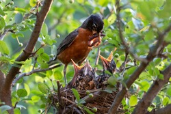 Baby birds with orange beak sitting in their nest and waiting for a feeding. Young birds in wildlife concept.