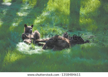 Baby Black Brown Cub Bears Playing in Green Grassy Meadow Together #1358484611