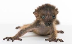 Baby Blue-eyed black Lemur, isolated on white