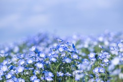 Baby blue eyes tiny flower