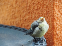 Baby blue tit (Cyanistes caeruleus), Eurasian blue tit, grumpy bird, baby bird isolated