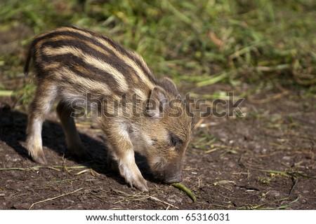 Baby Boar