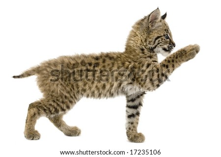 Baby bobcat reaching out, isolated on a white background