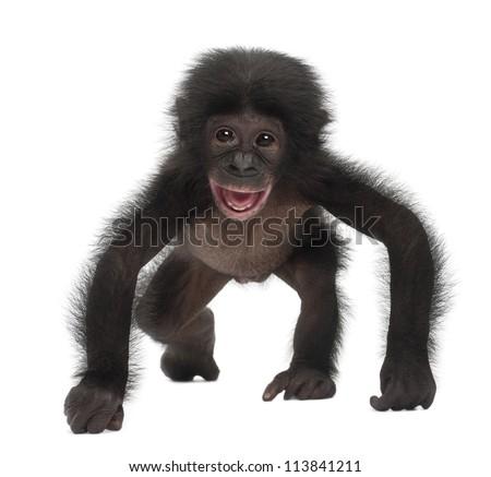 baby bonobo  pan paniscus  4...