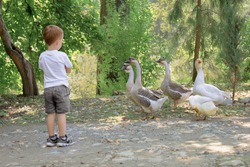 baby boy stands near the animal and is not afraid, geese, conquer fear.