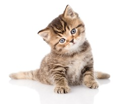 baby british tabby kitten sitting in front. isolated on white background