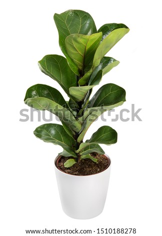 Baby broad leafed potted Ficus plant isolated on white, a popular indoor houseplant