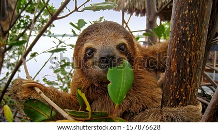 Baby Brown throated Three toed sloth in the mangrove, Caribbean,  Costa Rica #157876628