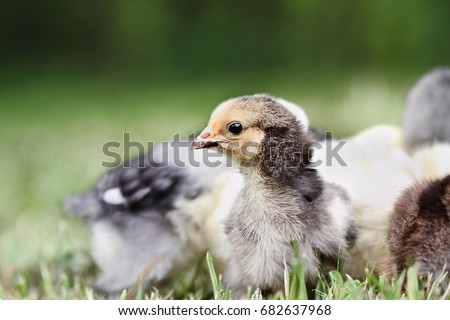 Photo of Baby Buff Brahma chick free ranging with other mixed chicks outdoors in the grass. Extreme shallow depth of field with selective focus on Brahma's face.