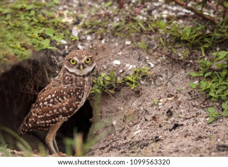 Baby Burrowing owl Athene cunicularia perched outside its burrow on Marco Island, Florida