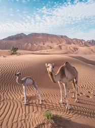 Baby camel and mother camel in dubai desert among the sand dunes, beautiful wildlife