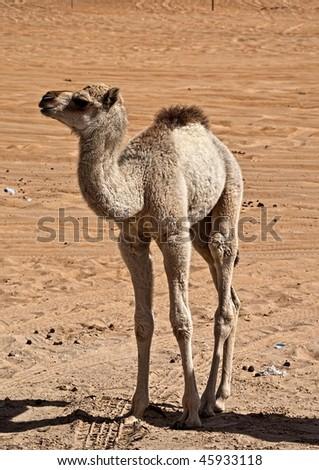 Baby Camel at Camel Festival in Abu Dhabi