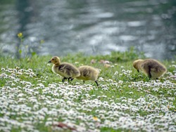 Baby Canada geese (goslings) on the grassy shore of the river.