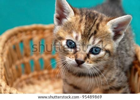 baby cat in basket