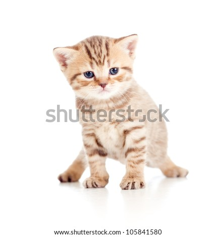 baby cat Scottish kitten isolated on white background