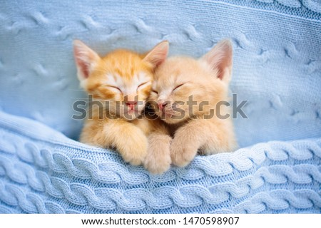 Baby cat sleeping. Ginger kitten on couch under knitted blanket. Two cats cuddling and hugging. Domestic animal. Sleep and cozy nap time. Home pet. Young kittens. Cute funny cats at home.
