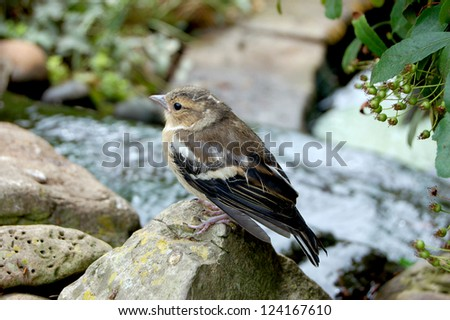Baby chaffinch perched on small rocks around a garden pond