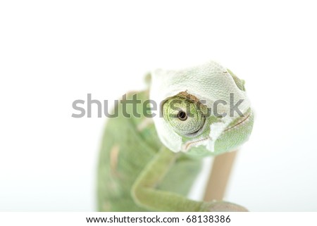 Baby chameleon is shedding skin. Macro focused on eyes.