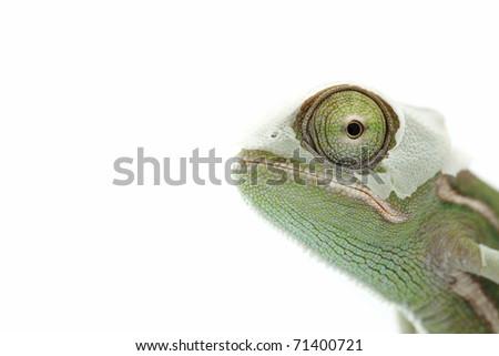 Baby chameleon is shedding skin, macro focused on eyes