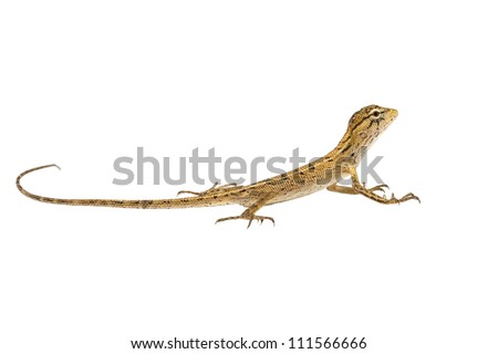 Baby chameleon, Isolated on white