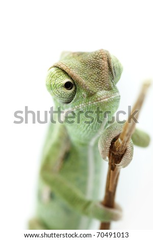 Baby chameleon looking from branch, macro focused on eyes