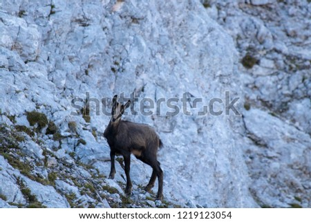 baby chamois in the mountains