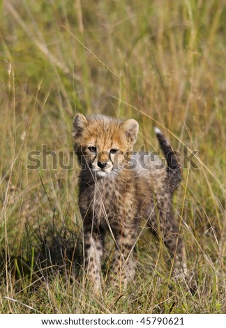 Baby cheetah stare