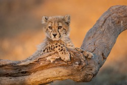 Baby cheetah with big eyes portrait sitting on a dead log in Kruger Park South Africa