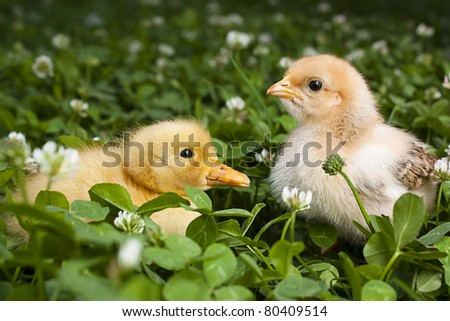 Baby Chick and duckling in a field of clover - stock photo