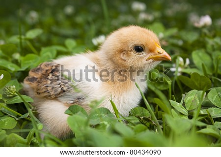Baby Chick in a field of clover