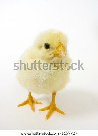 baby chick looking straight ahead