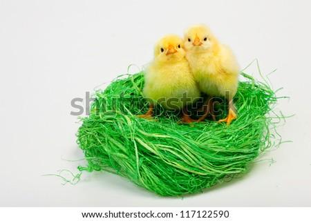 Baby chicken in nest - stock photo