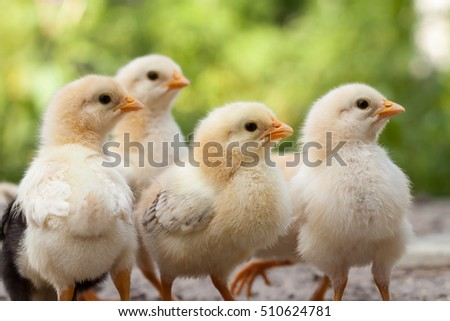 Baby chicken in poultry farm.