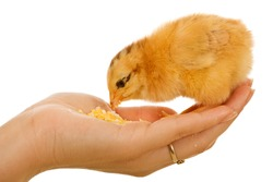 Baby chicken in woman hand eating - isolated