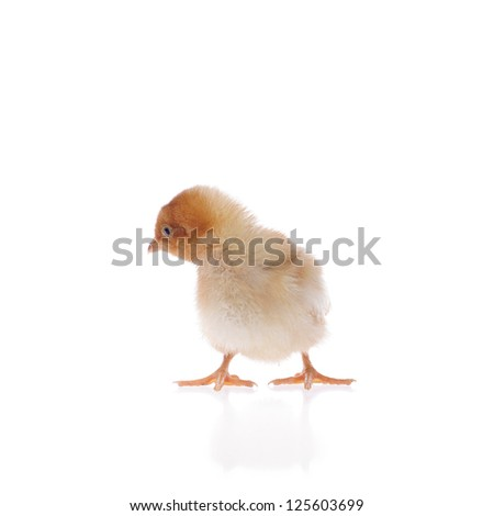 baby chicken isolated on white background