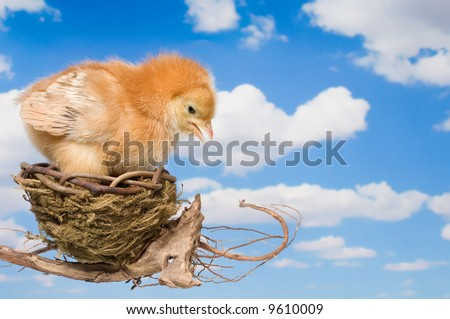 Baby Chicken Making the Decision to Leave the Nest
