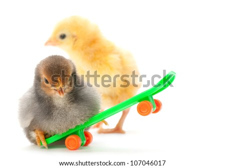 Baby chicken on skateboard isolated