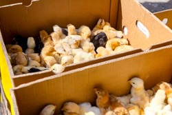 Baby chicken, small and very beautiful yellow chicks are placed in cardboard box, poultry industry.