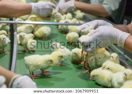 Baby Chickens just born on tray, Poultry Business. chicken farm business with high farming and using technology on farming on Selecting chicken gender process by workers hand