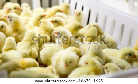 Baby Chickens just born on tray, Poultry Business. chicken farm business with high farming and using technology on farming on Selecting chicken gender process line