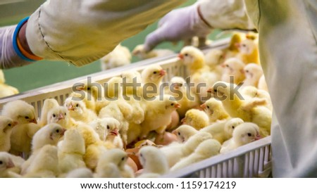 Baby Chickens just born on tray, Poultry Business. chicken farm business with high farming and using technology on farming on Selecting chicken gender process (blur some of chicken)